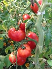 tomates prêtes à être récoltées
