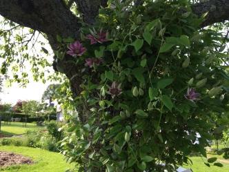 Clématites grimpant sur le cerisier