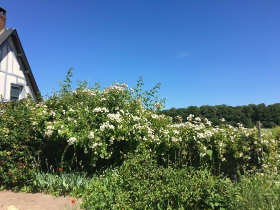 Haie de roses au printemps
