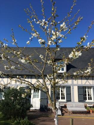Jeune cerisier en fleurs