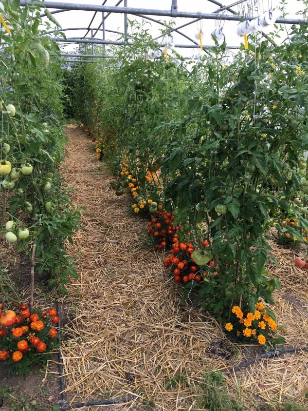 La serre à tomates fin juillet