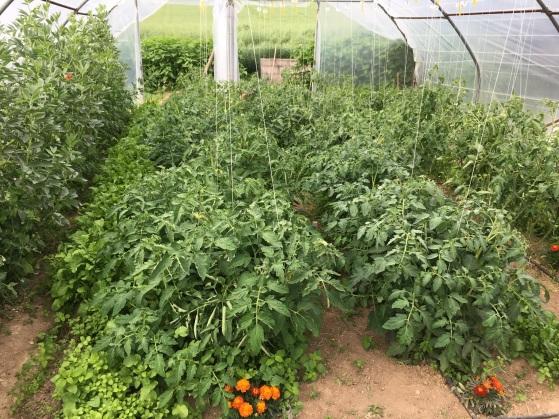 Serre à tomates en juin